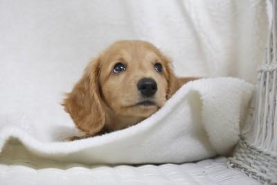 上を見つめるダックスの子犬