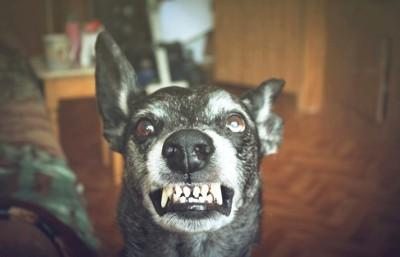 牙を見せて威嚇している黒い犬