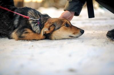 伏せた状態で撫でられている犬