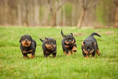 芝生を並んで走る4匹の子犬