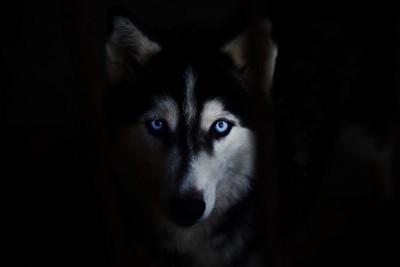 暗闇のシベリアンハスキー
