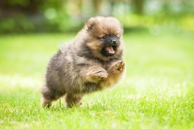 走るポメラニアンの子犬