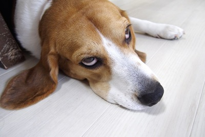 上目遣いで見つめる犬の顔アップ