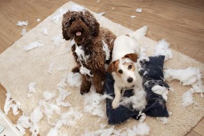 中綿を取り出して遊んだ二頭の犬