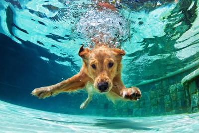 プールに潜るゴールデン・レトリーバー