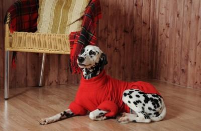 赤いセーターを着た犬