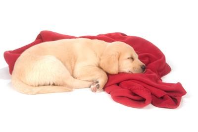赤い毛布とゴールデンレトリバーの子犬