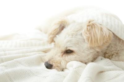 白いブランケットに包まれた垂れ耳の犬