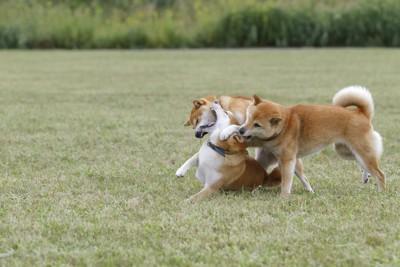 芝生で戯れあって遊ぶ3頭の柴犬