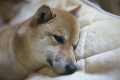 ぐったりと横になっている柴犬