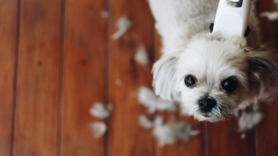 ヘアーカットされて上を見る犬