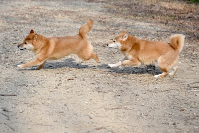 2頭で走る柴犬