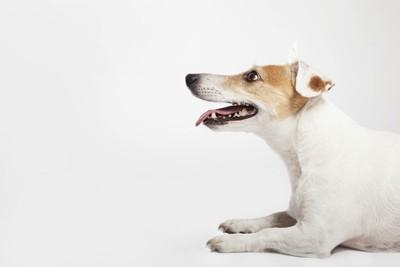 耳が悪い犬