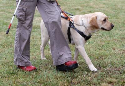 ハンドラーと芝生の上を歩いている盲導犬