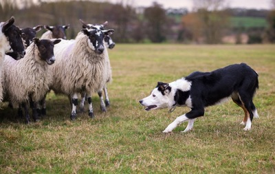 羊とボーダーコリー