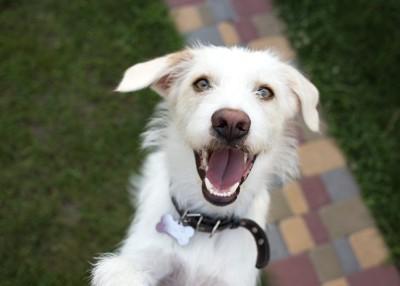 笑顔で飛びつく白い犬