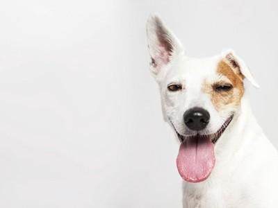 舌をだして笑う犬