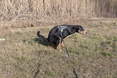 排泄中の犬