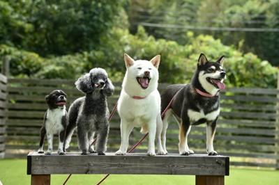 4匹で並ぶ柴犬・トイプードル・チワワ
