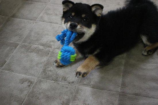 お気に入りのおもちゃで遊ぶルーク