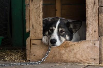 鎖をつけられている犬