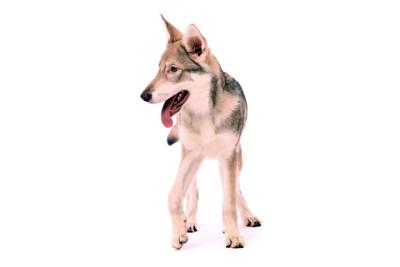 片足を少しだけ地面に着ける犬