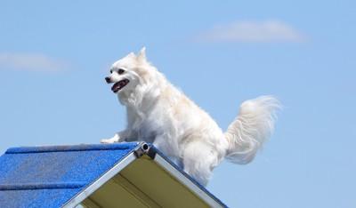 屋根の上のアメリカンエスキモードッグ