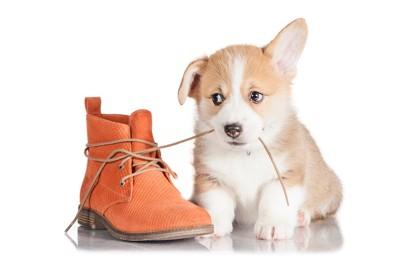 靴の紐を噛んでいるコーギーの子犬