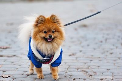 青い服を着て散歩するポメラニアン