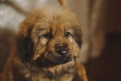 チベタンマスティフの子犬