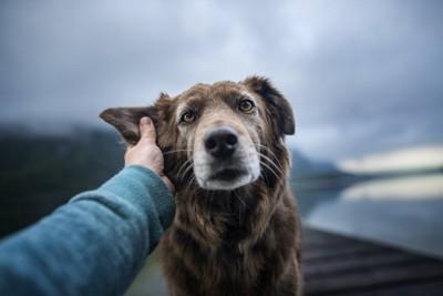 犬の耳を触っている人の手