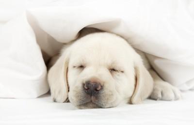 ベッドで寝ている子犬
