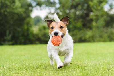 ボールを咥えて持ってくる犬
