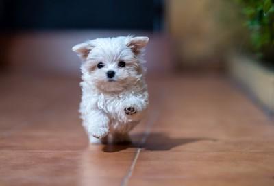 室内を走る子犬