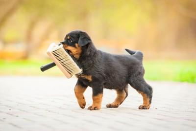 ブラシをくわえて歩く子犬