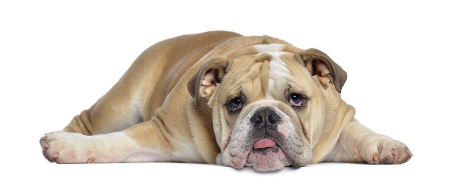床に寝そべっているブルドッグ