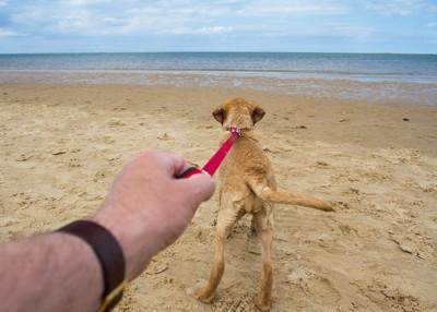 浜辺でリードを引っ張る犬