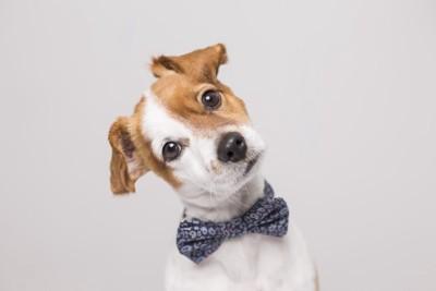 首を傾げて見つめるリボンをつけた犬