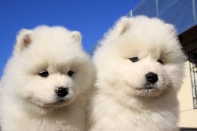 25588242 子犬サモエド