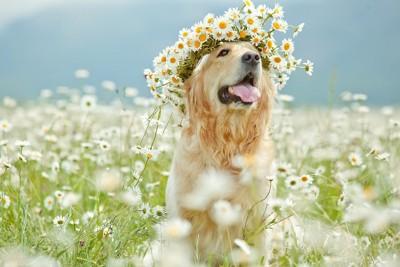 花かんむりをしたゴールデンレトリバー