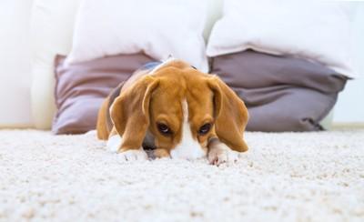 犬とカーペット