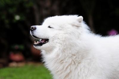 目を閉じるサモエド犬
