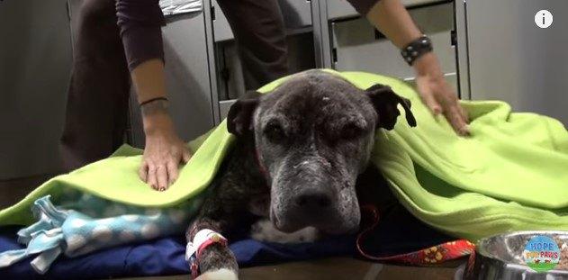 輸血を受けた犬
