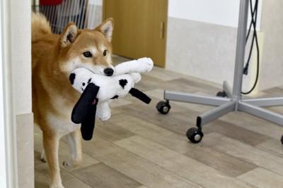ぬいぐるみをくわえて運ぶ柴犬