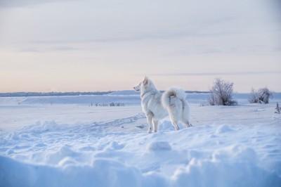 雪の中に佇むヤクーチアンライカ