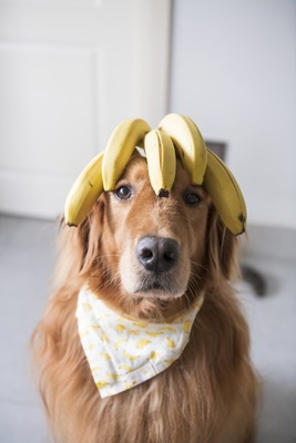 頭にバナナを乗せた犬