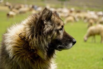 羊を見ている牧羊犬