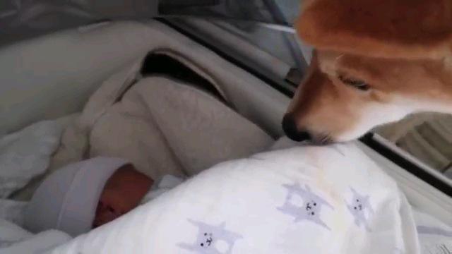 赤ちゃんと柴犬アップ