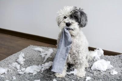 靴下をくわえている犬と足元に散らばった綿