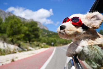 サングラスをかけている犬の写真